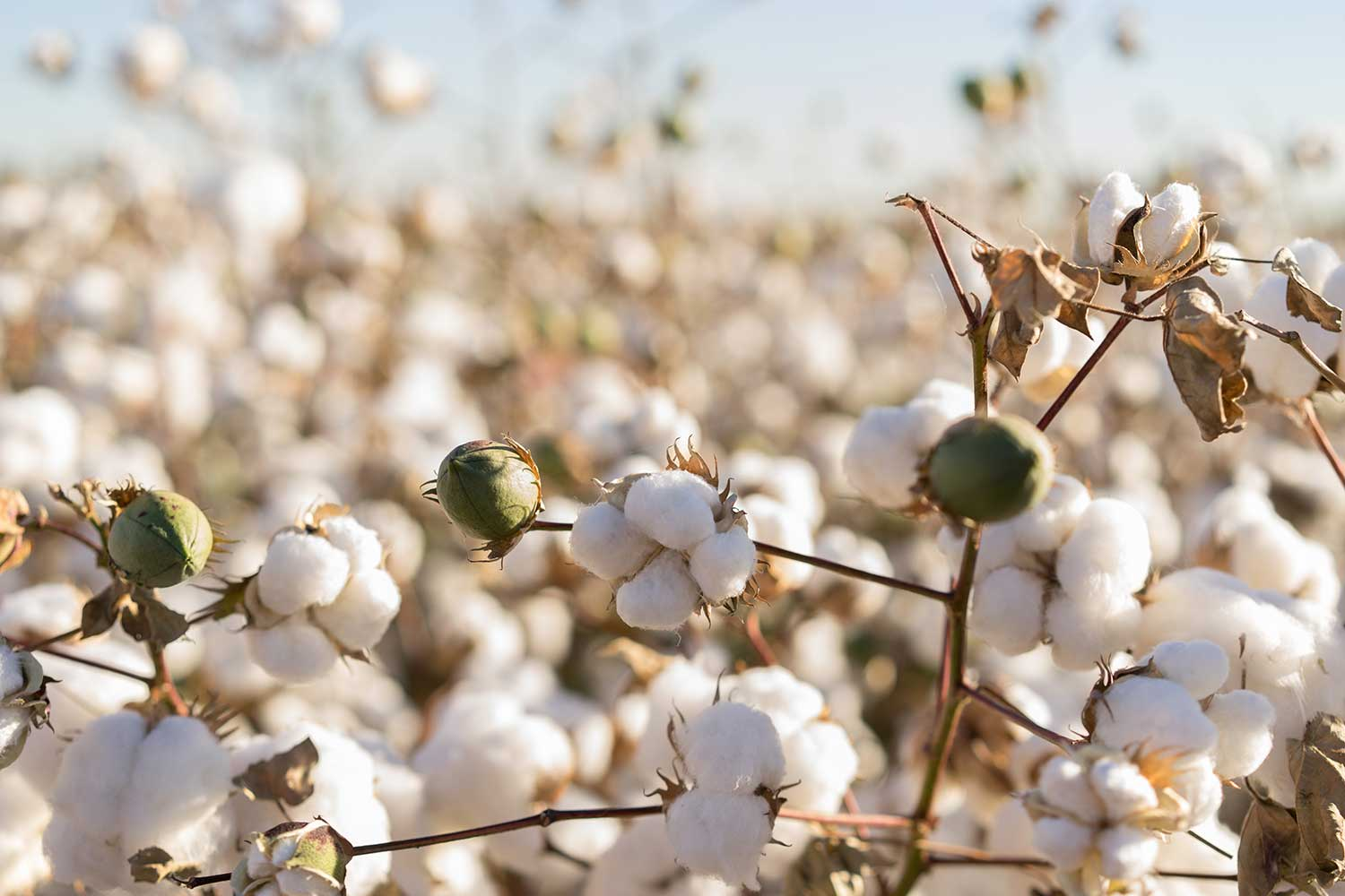 Cotton with a Conscience